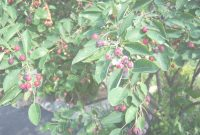 Amazing Backyard Birds Love Serviceberry Trees And Shrubs | Backyard Bird with Backyard Berry Plants