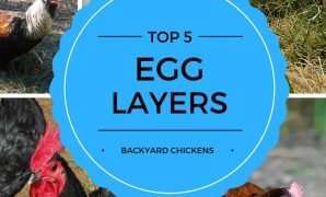 Amazing Best Egg Laying Chickens | Backyard Chicken Zone intended for Fresh Best Backyard Chicken Breeds