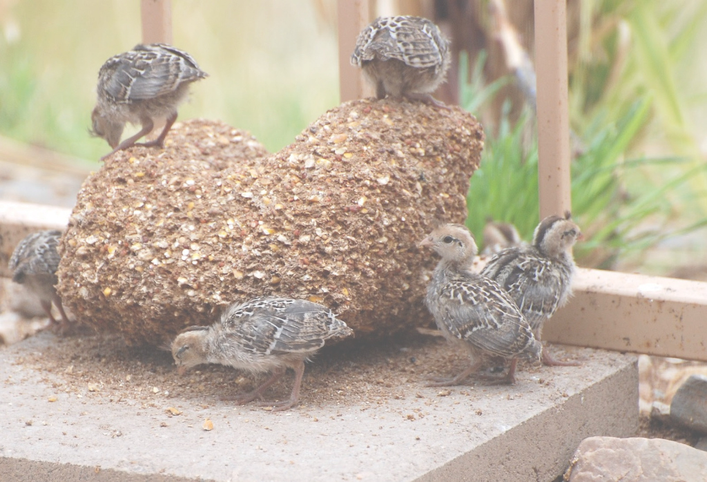 Beautiful City Farming With Backyard Quail – An Alternative To Raising within Backyard Quail