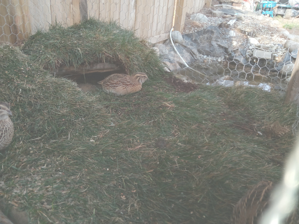 Beautiful My Backyard Quail. 200 Eggs Per Bird Per Year : Backyardchickens in Backyard Quail