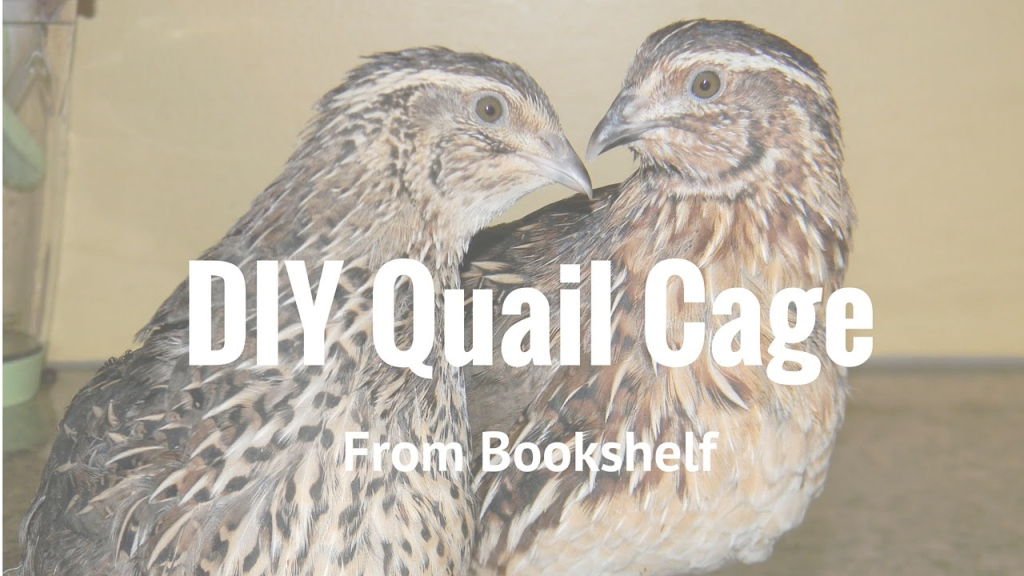 Beautiful Raising Backyard Quail - Quail Cage From Old Shelf - Youtube throughout Review Backyard Quail