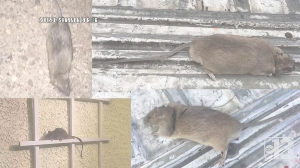 Beautiful Update: Henderson Woman Still Battling Family Of Rats In Backyard for New Rats In Backyard