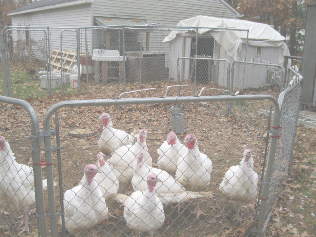 Cool Thinking About Raising Turkeys? | Community Chickens in High Quality Backyard Chicken Farming