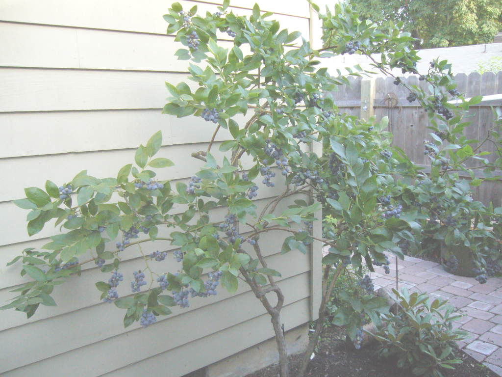 Cool Unsurpassed Backyard Berry Plants Specializing In Organically Grown throughout Backyard Berry Plants