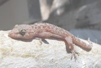 Elite Baby Lizards within What Do Backyard Lizards Eat