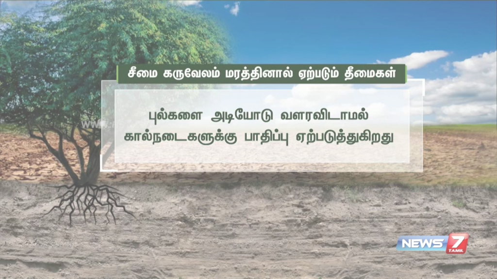 Elite Harmful Effects Of Babul Trees | News7 Tamil - Youtube in Landscape Meaning In Tamil