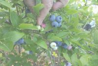 Elite Hurry Backyard Berry Plants Specializing In Organically Grown in Backyard Berry Plants