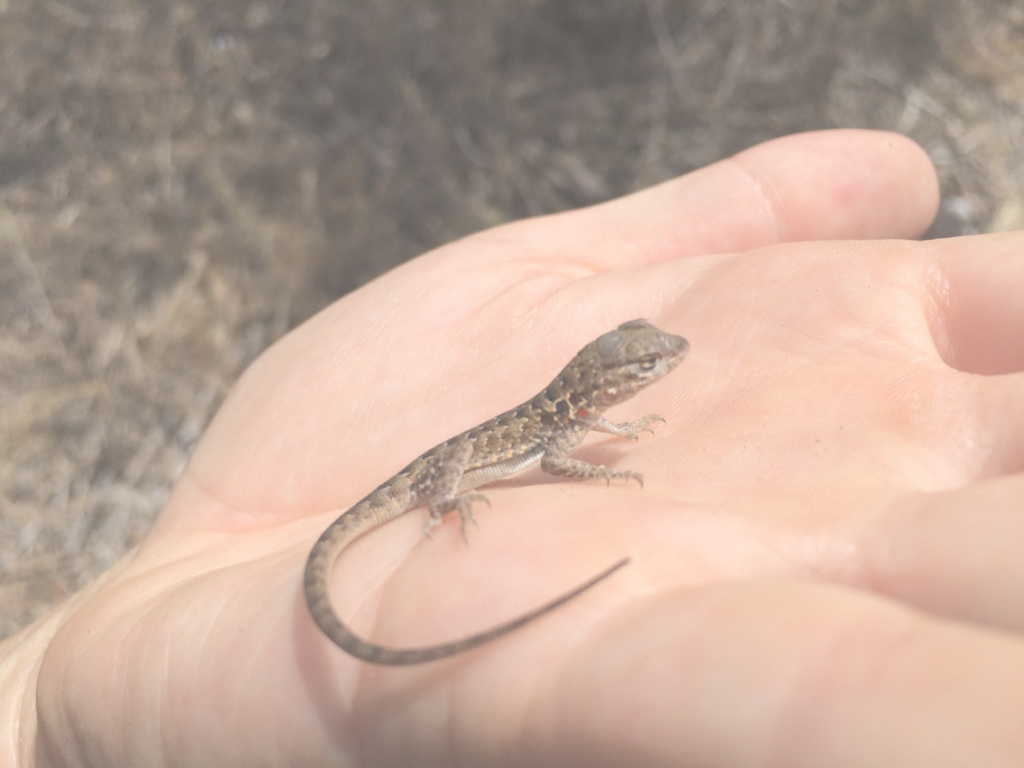 Elite Tis The Season For Baby Lizards | Nature @ Nhmla in What Do Backyard Lizards Eat