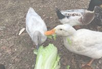 Elite Treats Your Ducks Will Love! inside Backyard Ducks