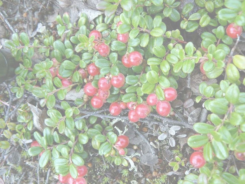 Epic Download Backyard Berry Plants | Littlebubble regarding Backyard Berry Plants