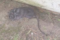 Epic Found A Huge Black Rat In My Backyard – Is This Normal? : Portland in Rats In Backyard