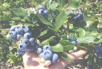 Epic Growing Organic Blueberries In Your Backyard – Dimeo Farms | Large for Backyard Berry Plants