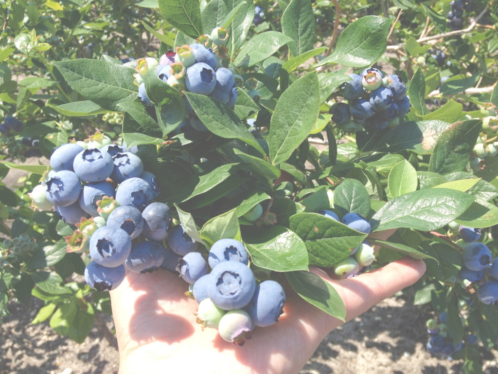 Epic Growing Organic Blueberries In Your Backyard - Dimeo Farms | Large for Backyard Berry Plants