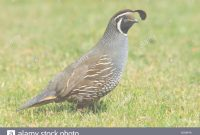 Epic Quail Topknot Stock Photos & Quail Topknot Stock Images – Alamy throughout Review Backyard Quail