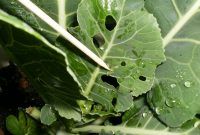 Epic The Green Cabbage/kale Caterpillar: A Vegetable Garden Pest – The in Set Vegetable Garden Pests Identification