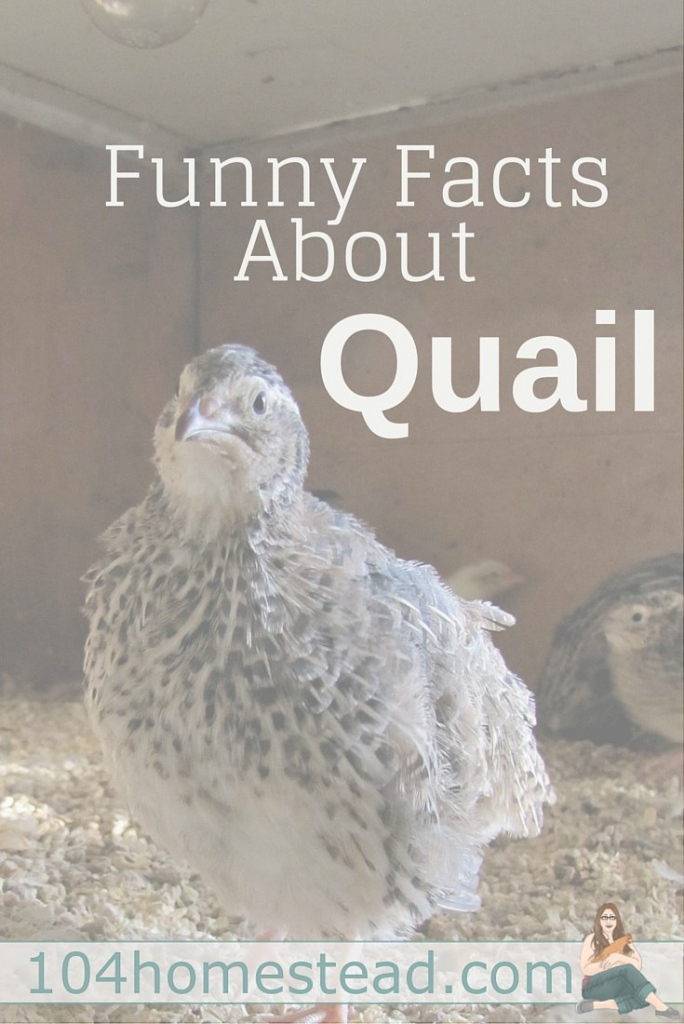 Fabulous 197 Best Raising Quail And Pheasants Images On Pinterest | Quails in Backyard Quail