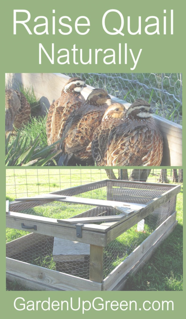 Fabulous Garden Up Green | Quails, Meat And Purpose intended for Review Backyard Quail