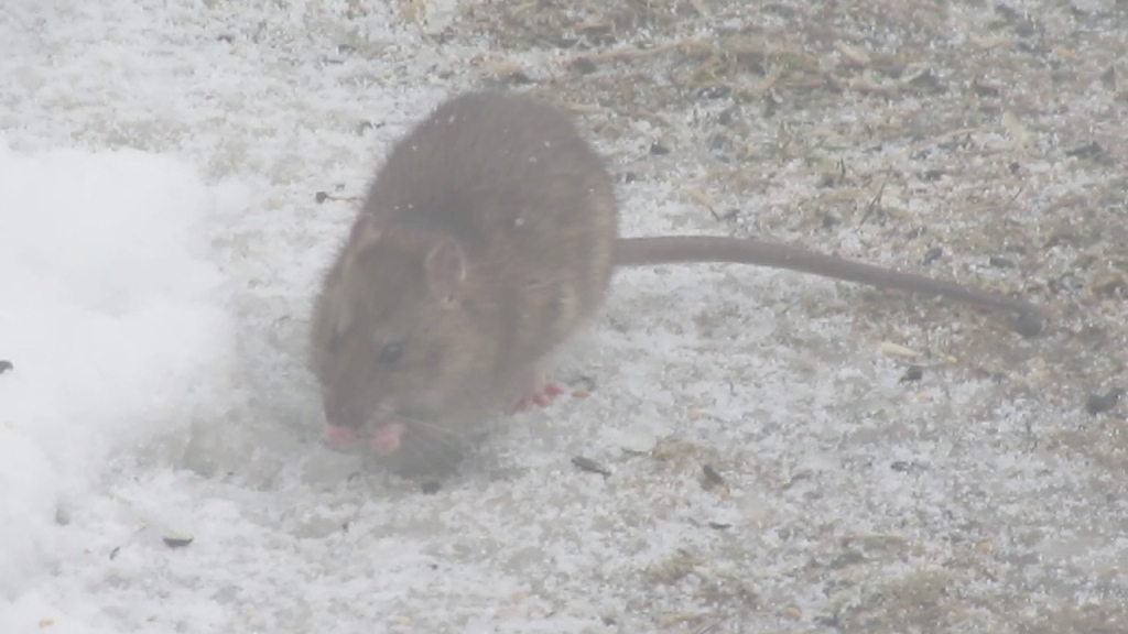 Fabulous Pets In My Own Backyard  Oh Rats - Youtube for New Rats In Backyard