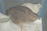 Fabulous Quail – Bird Center Of Washtenaw County with Backyard Quail