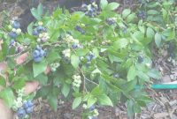 Fancy Backyard Berry Plants – Specializing In Organically Grown Blueberry for Backyard Berry Plants