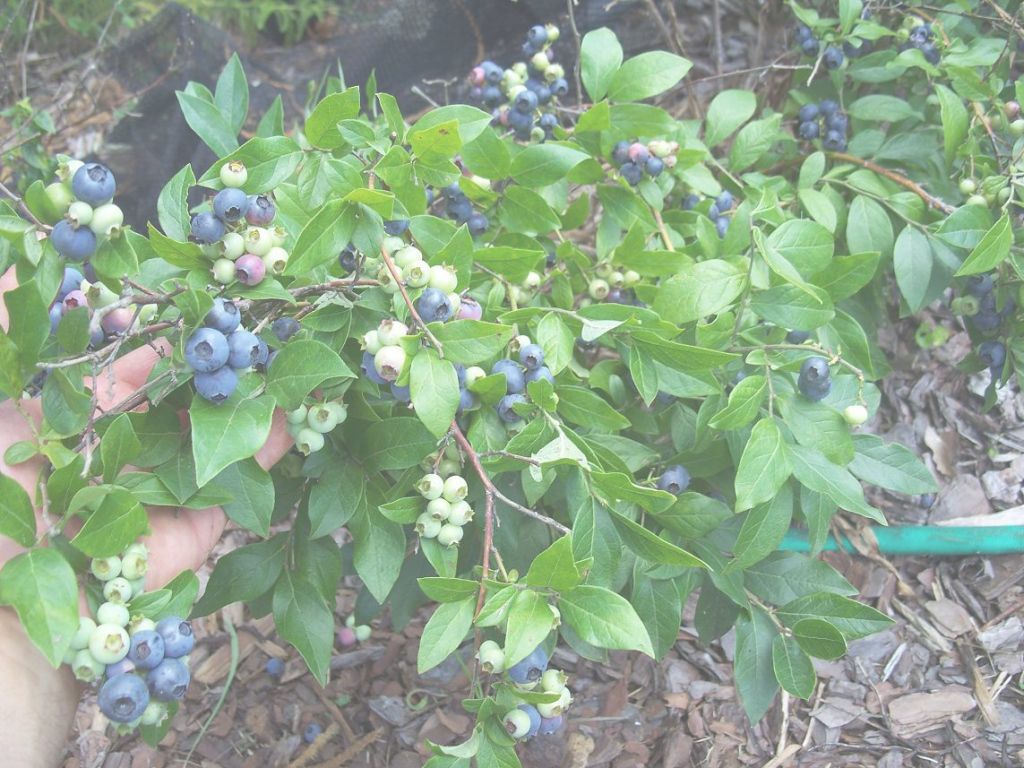 Fancy Backyard Berry Plants - Specializing In Organically Grown Blueberry for Backyard Berry Plants