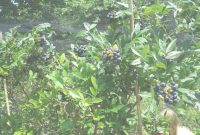 Fancy Backyard Berry Plants – Specializing In Organically Grown Blueberry in Set Backyard Berry Plants