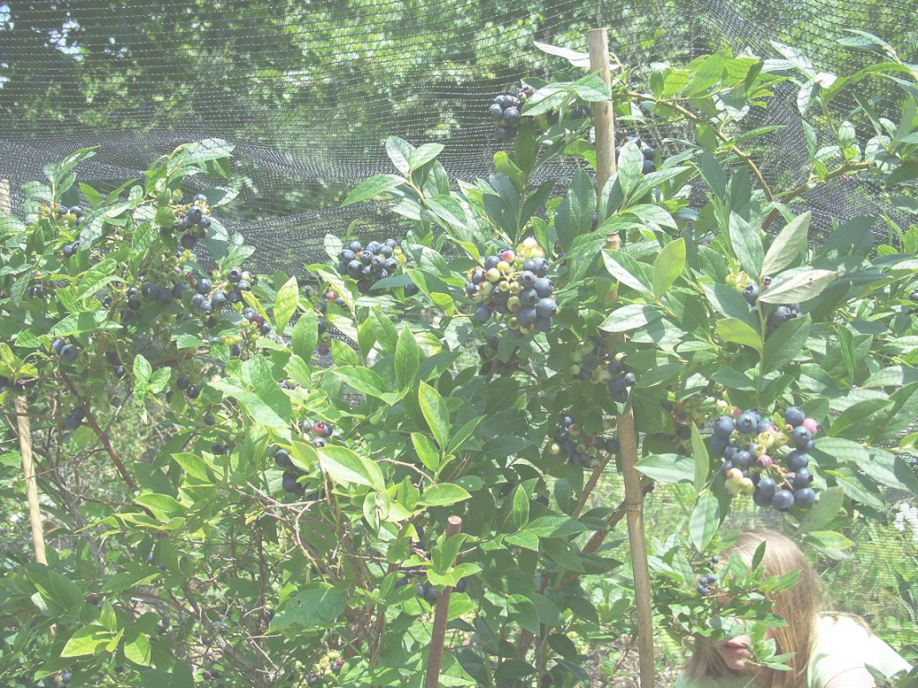 Fancy Backyard Berry Plants - Specializing In Organically Grown Blueberry in Set Backyard Berry Plants