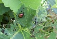 Fancy Common Garden Pests: Japanese Beetle – Youtube pertaining to Common Garden Pests