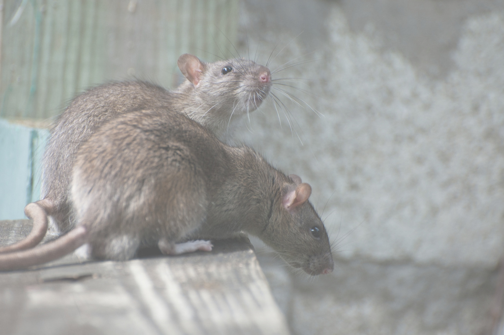 Fancy How To Get Rid Of Rats Naturally (Natural Rat Repellent Guide throughout Rats In Backyard