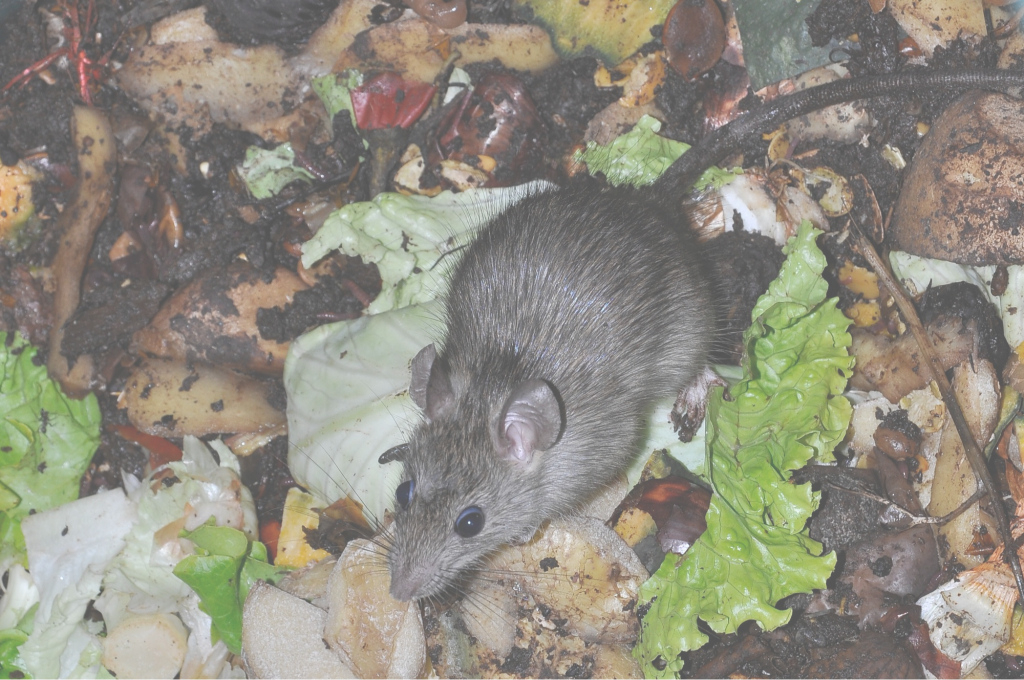 Fancy How To Get Rid Of Rats Naturally (Natural Rat Repellent Guide with Rats In Backyard