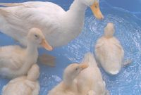 Glamorous Backyard Ducks–Portable Play Yards Work Well For Baby Ducks, Also with regard to Backyard Ducks