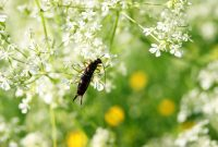 Glamorous Earwigs: How To Get Rid Of Earwigs | The Old Farmer's Almanac inside Essential Oils For Garden Pests
