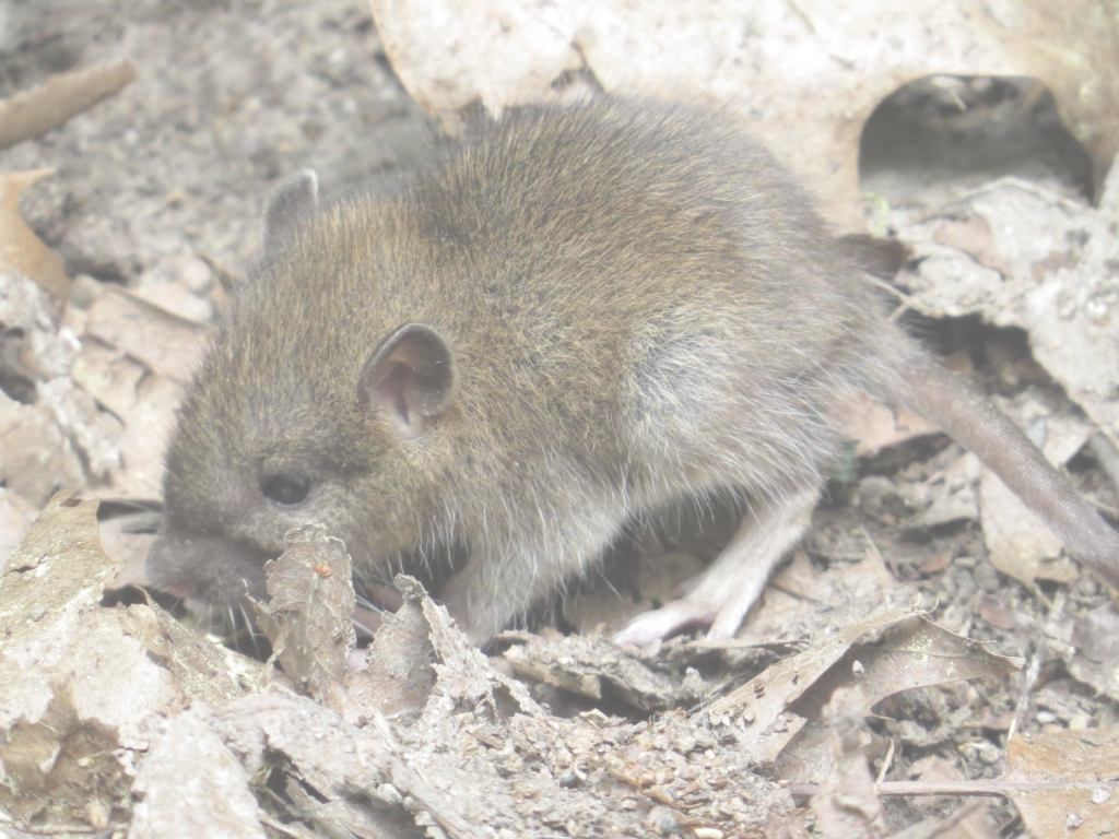 Glamorous Most Inspiring Rodentia | Backyard And Beyond Rats In Backyard with regard to Rats In Backyard