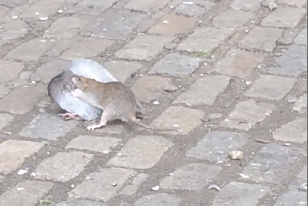 Glamorous Rat Takes On Pigeon In The Ultimate Urban Wildlife Showdown with New Rats In Backyard
