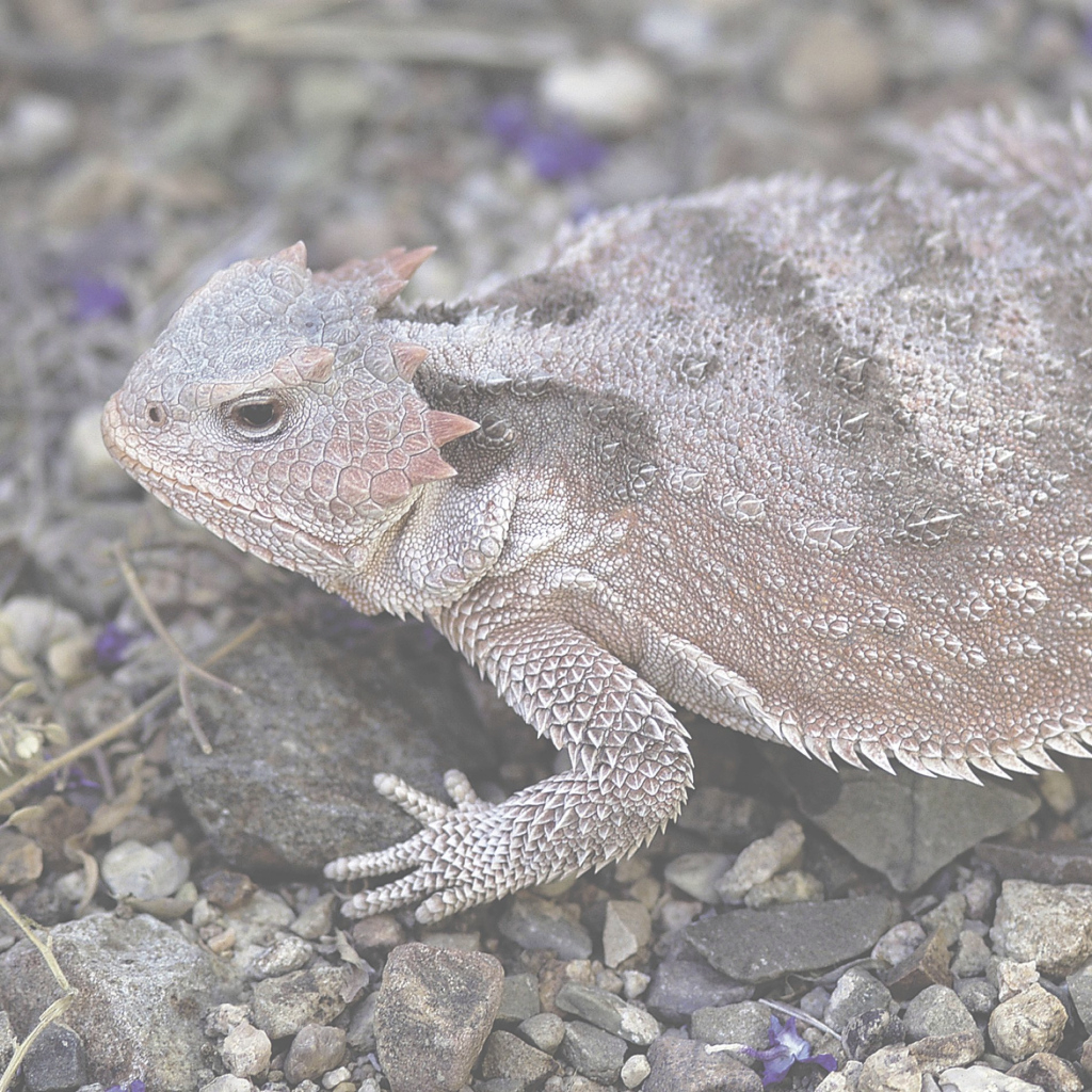 Glamorous Short-Horned Lizard | National Geographic with regard to What Do Backyard Lizards Eat