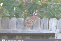 Inspirational Adult Male Northern Bobwhite Quail In A Residentail Backyard, Boise with regard to Review Backyard Quail