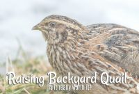 Inspirational Backyard Quail-Are They Really Worth It? * The Homesteading Hippy throughout Review Backyard Quail