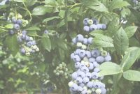Inspirational Blueberries regarding Set Backyard Berry Plants