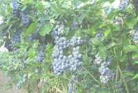 Inspirational Here Are The Blueberries You Can Grow In Louisiana | Wrkf within Backyard Berry Plants