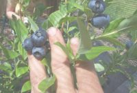 Lovely Backyard Berry Plants – Specializing In Organically Grown Blueberry inside Set Backyard Berry Plants