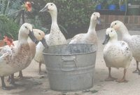 Lovely Backyard Ducks Archives – Tyrant Farms in Backyard Ducks