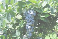 Lovely Revolutionary Backyard Berry Plants Specializing In Organically throughout Backyard Berry Plants