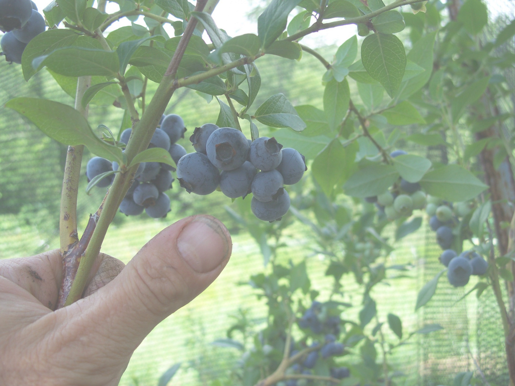 Modern Backyard Berry Plants - Specializing In Organically Grown Blueberry with Backyard Berry Plants
