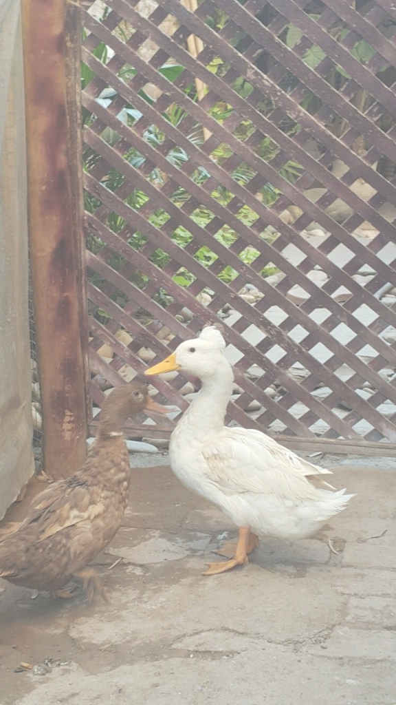 Modern Backyard Ducks | My House Backyard | Pinterest | Backyard Ducks throughout Backyard Ducks