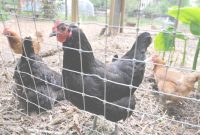 Modern Cdc: Kissing And Cuddling Backyard Chickens Linked To Salmonella in High Quality Backyard Chicken Farming