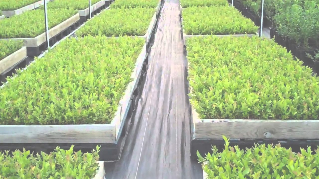 Modern Certified Blueberry Plants - Dimeo Blueberry Farm Nursery - Youtube intended for Set Backyard Berry Plants