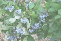 Modern Container Growing Blueberries | Garden Culture Magazine inside Backyard Berry Plants