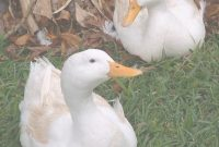 Modern Great Backyard Duck Breeds – The Cape Coop in Backyard Ducks