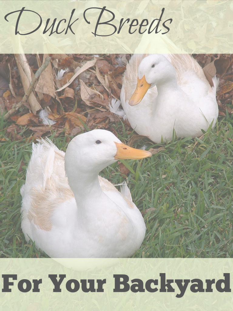 Modern Great Backyard Duck Breeds - The Cape Coop in Backyard Ducks