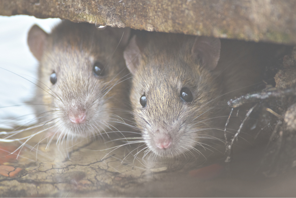 Modular How To Get Rid Of Rats Naturally (Natural Rat Repellent Guide throughout New Rats In Backyard